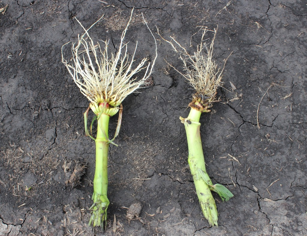 CRW root damage from monmouth