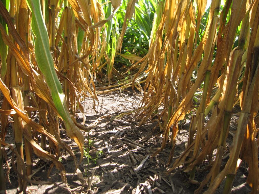 Root Lodging - Corn Late Season 1